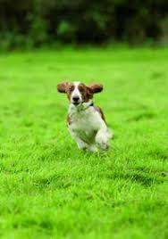 Perro corriendo en jardín