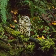 Photo: Sleepy barred owl. photo by: Peter Cummings