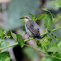 Sunbird - Purple Sunbird