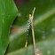 Damselfly (R. viridatum)