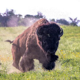 Buffalo Ready To Charge by Kathy Suttles - Animals Other Mammals (  )