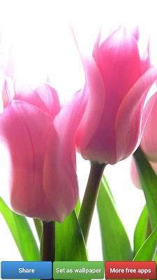 Colorful Tulip Wallpapers - screenshot