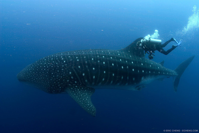 Photo: A diver swims next to a gigantic whale shark in the Galapagos Islands.