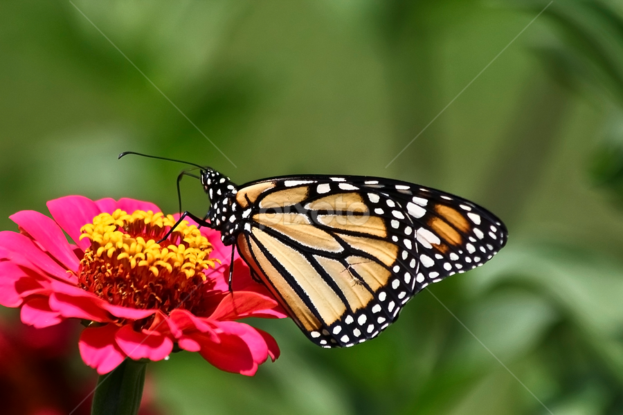 Monarch by Susan Farris - Animals Insects & Spiders ( butterfly, pwcinsectsandspiders, monarch, pwcinsects, bug, pwcinsects&spiders, pink, insect, flower, , Backyard, insects, reptiles, living creatures, green, colors, daily life, animal, butterfy )