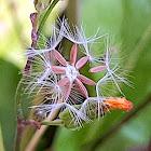 Serralha's Seeds