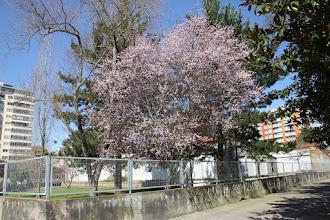 Photo: Prunus - Abruñeiro de Xardín  // Cerdeira Xaponesa  EEI Crespo Rivas