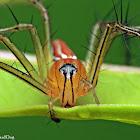 Lean Lynx Spider