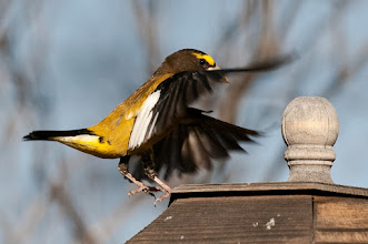 Photo: Evening grosbeak landing on feeder
