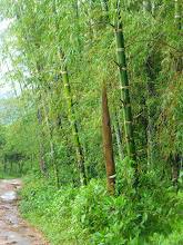 Photo: Bamboo shoot, above Mindo