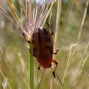 Swarming Leaf Beetle