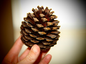 Photo: California Pine Cone