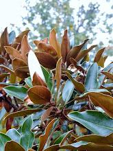 Photo: Rock City TN - magnolia bloom late October?