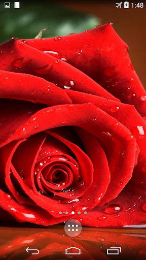Red Rose 4K Live Wallpaper