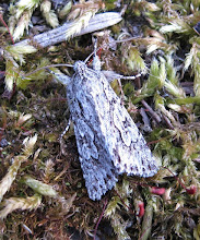 Photo: Early Grey moth © Keith Gittens 2015