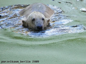 Photo: Knut entspannt bei einer Schwimmrunde ;-)