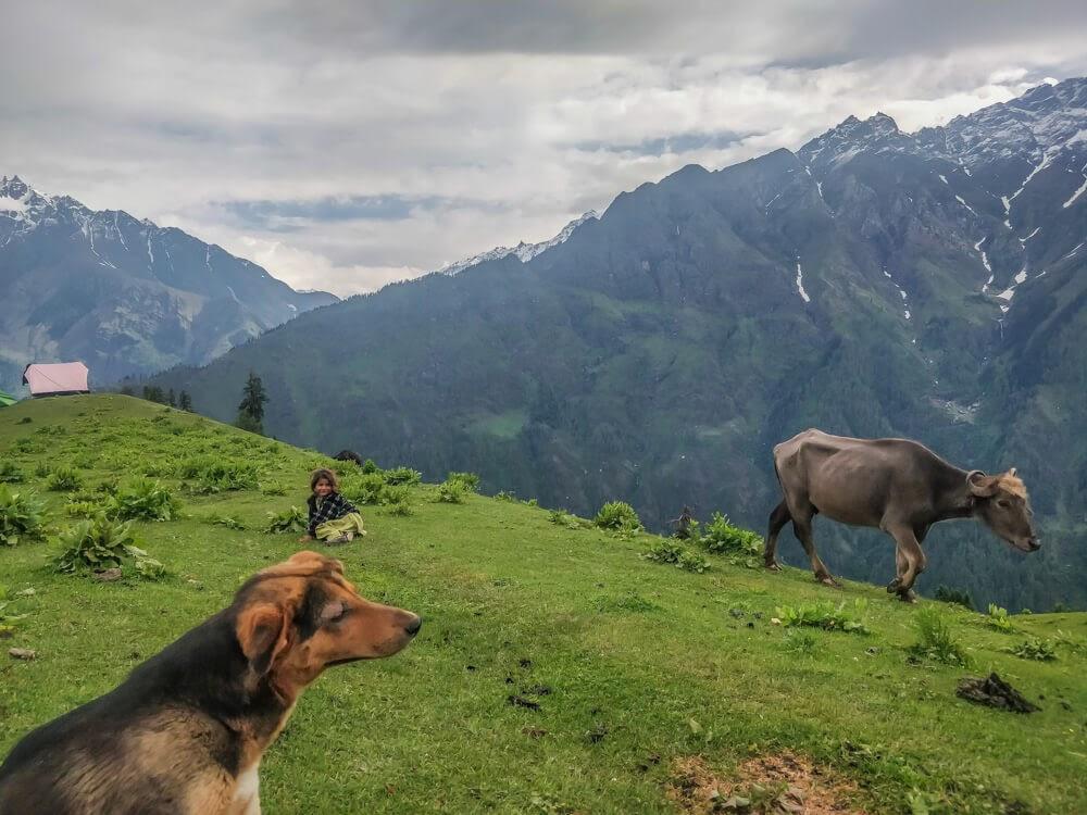 animals+children+bunbuni+pastures++parvati+valley+india+mountains