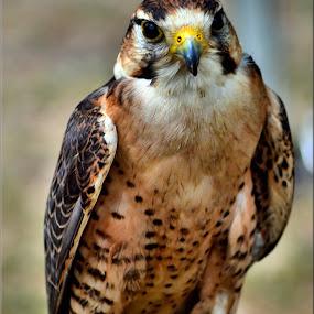 bird by Nic Scott - Animals Birds ( bird of prey, bird,  )