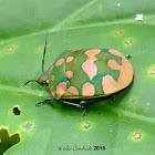 Torridus shieldbug