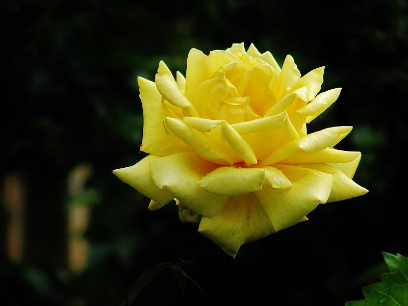 Una rosa fosforescente di Giorgio Lucca