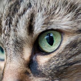 Macro Cat Eye by T.J. Wolsos - Animals - Cats Portraits ( cats, macro, cat, micro, animal eye, maine coon, eyeball, eye )