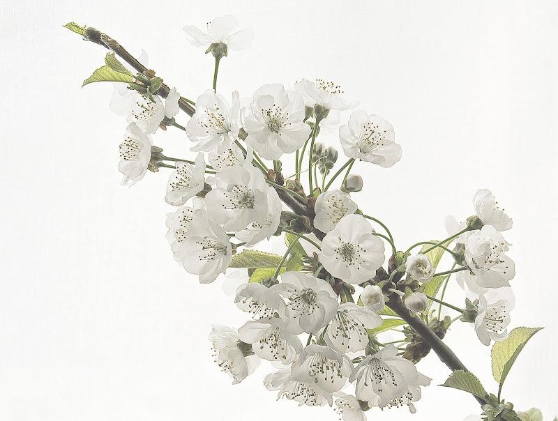 Potranno recidere tutti i fiori ma non potranno fermare la primavera (P. Neruda)i di mariarosa-bc