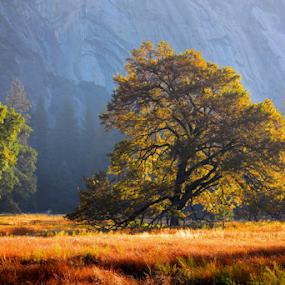 Yosemite Elm in Autumn by Karen Coston - Landscapes Prairies, Meadows & Fields ( morning light, nature, autumn, yosemite, elm tree, cooks meadow,  )