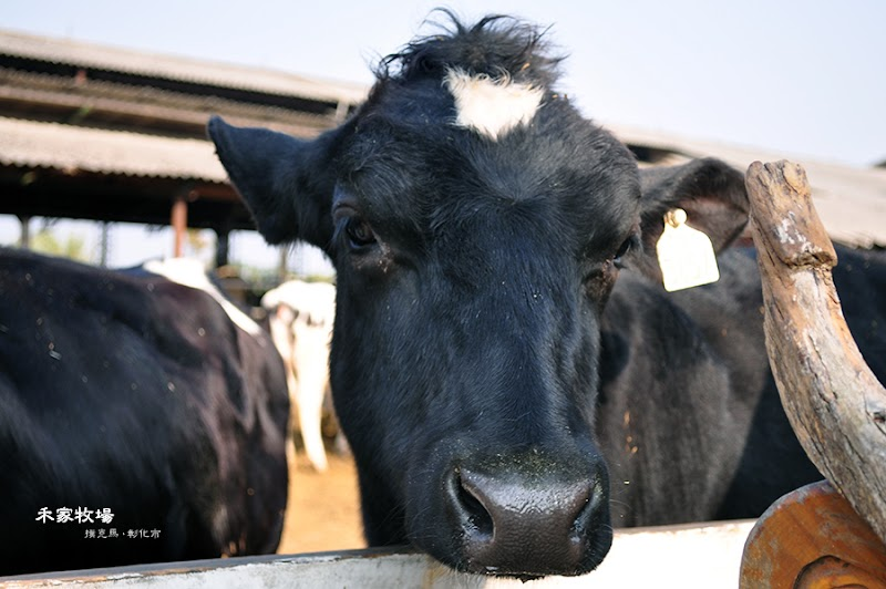 禾家牧場賞乳牛