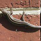 Common Five-lined Skink, adult female