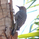 Gila Woodpecker     female
