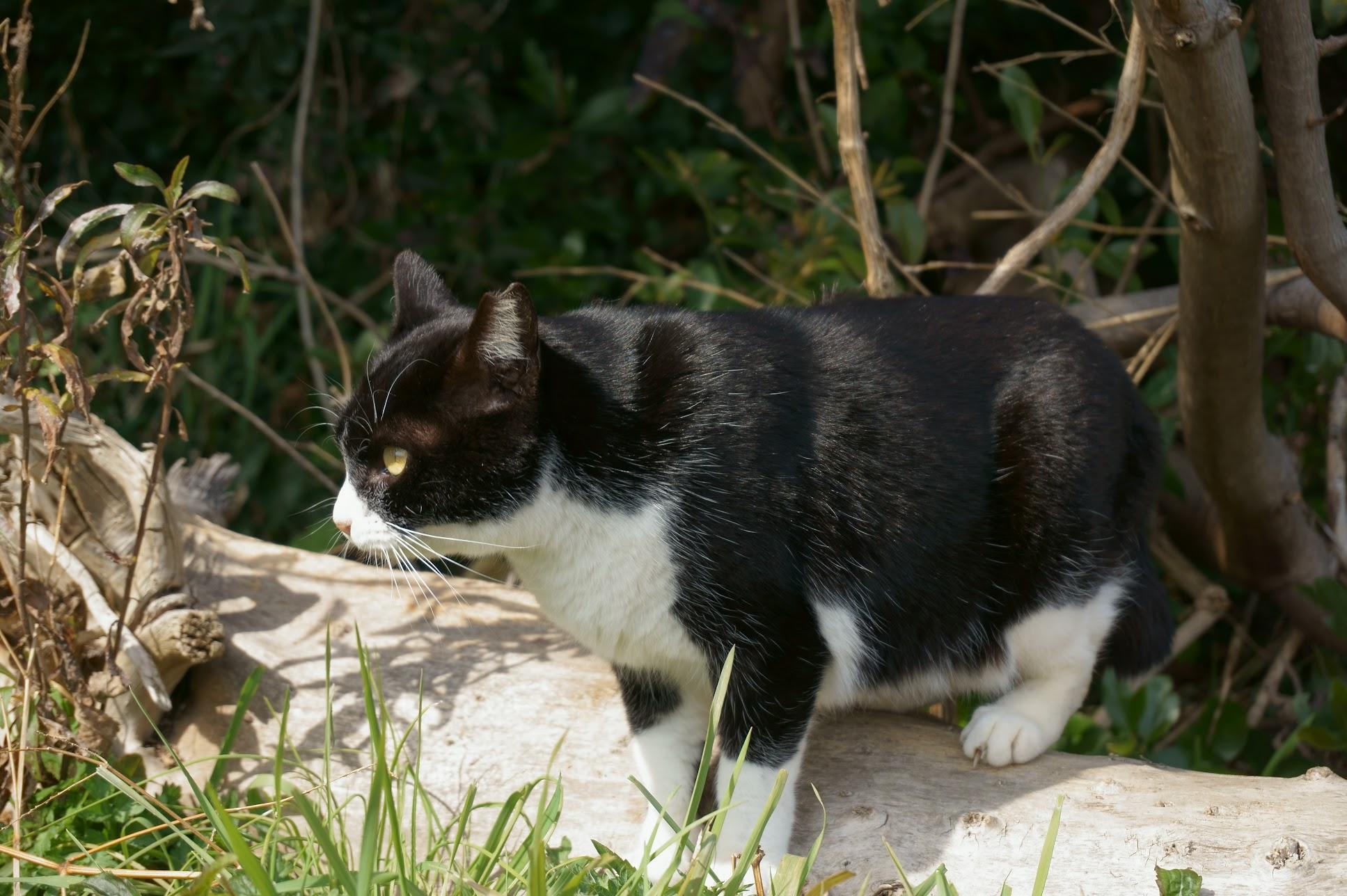 大塚海岸のハチワレ猫