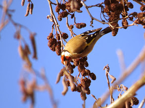Photo: 19 Jan 14 Priorslee Flash In the harsh light (you can never please a photographer) difficult to get both bird and background exposed correctly. This Goldfinch on Alder cones is not bad. (Ed Wilson)