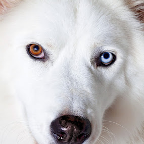 Riley by Curtis Jones - Animals - Dogs Portraits ( white dog, husky, fluffy dog, dog )