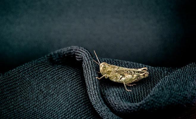 the Golden Cricket di alberto raffaeli