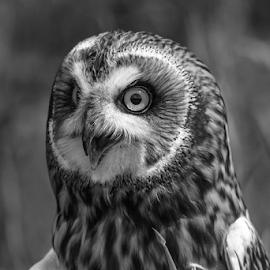 Short eared owl by Garry Chisholm - Black & White Animals ( raptor, bird of prey, nature, short eared owl, garry chisholm )
