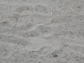 Photo: Some tracks, but I don't remember what they are. Lion?
