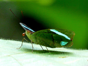 Photo: BLUE-BANDED (HEWITSON'S)  OLIVEWING--EL CAPRICHO TRAIL