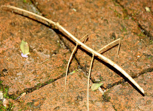 Photo: Year 2 Day 109 - Yep, I Can See Why They Are Called Stick Insects
