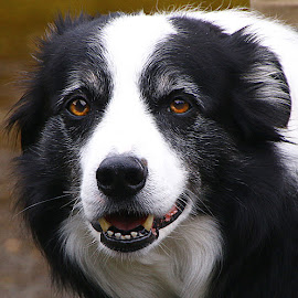 Roby by Chrissie Barrow - Animals - Dogs Portraits ( border collie, black and white, pet, dog, portrait,  )