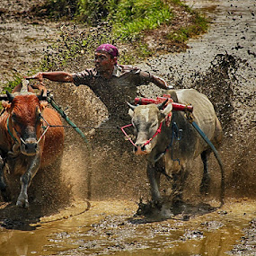 Cow Race by Syafriadi S Yatim - Sports & Fitness Other Sports ( #minangkabau, #indonesia, #pacu jawi #cow race #entertain people #tanah_datar )