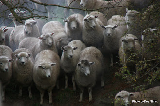 Photo: (Year 2) Day 317 -  Sheep Being Herded (New Zealand)