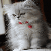 Cat Wind Live Wallpaper