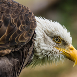 Eagle by Garry Chisholm - Animals Birds ( raptor, bird of prey, nature, garry, bald eagle )