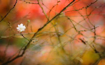 """Photo: This photo appeared in an article on my blog on Feb 7, 2013. この写真は2月7日ブログの記事に載りました。 """"Cherry Blossoms in November: Looking Back to Autumn To Get Ready For Spring"""" http://regex.info/blog/2013-02-07/2201"""