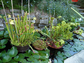 "Photo: Sarracenia minor ""Okefenokee"" & Darlingtonia californica & Dionaea & S. Hybride (S. flava x S. rubra ??)"
