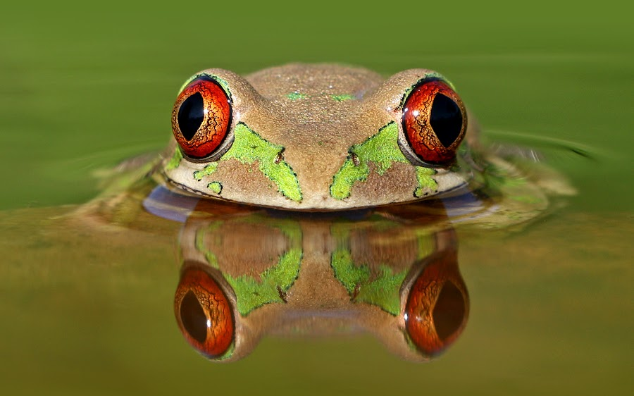 Big Red Eyes by David Knox-Whitehead - Animals Amphibians ( red, frog, green, tree frog, amphibian, eyes )
