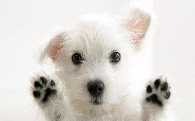 West Highland White Terrier Thème et nouvel onglet