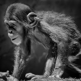 mischief by David Hammond - Animals Other Mammals ( mischief, chimpanzee, animals, ape, primate, baby, young, chimp,  )