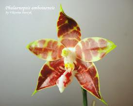 """Photo: Phalaenopsis amboinensis = (P.amboinensis var common x P.amboinensis """"yung Ho"""")"""