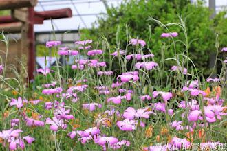 Photo: 拍攝地點: 梅峰-溫帶花卉區 拍攝植物: 麥稈石竹(吉他手) 拍攝日期: 2014_04_16_FY