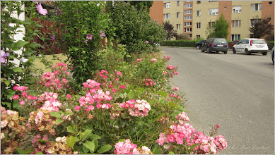 Photo: Trandafir ( Rosa) - din Turda,  Str. Trandafirilor - 2019.09.04